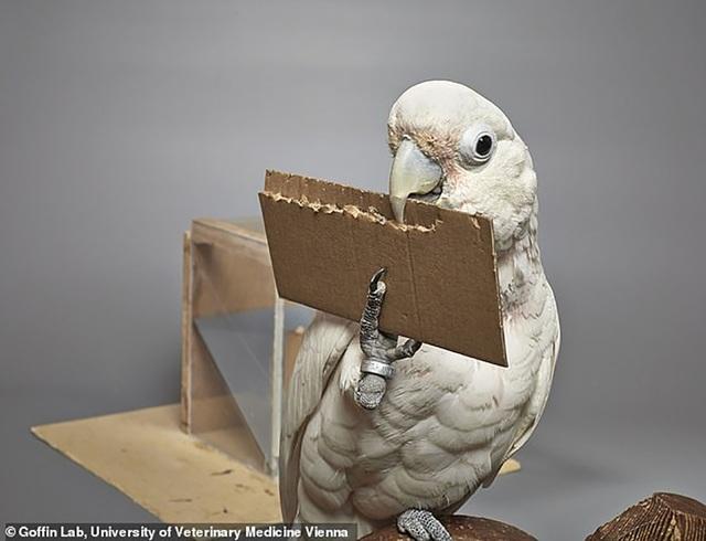 Những con vẹt mào có khả năng cắt bìa các tông theo các kích thước khác nhau để khều thức ăn trong hộp.