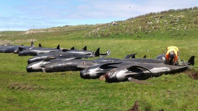 Hàng chục cá voi hoa tiêu mắc cạn và chết ở New Zealand - 1