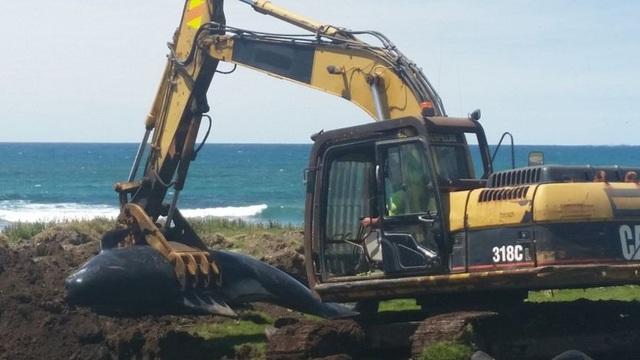 Con cá voi được chôn gần bờ biển trên hòn đảo hẻo lánh - Ảnh từ DoC