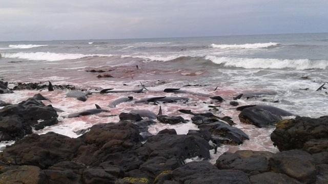 Rất nhiều cá voi bị thương nặng do mắc kẹt trong vùng nước nông – Ảnh từ DoC