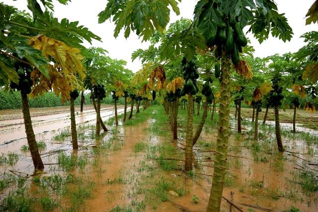 Nông dân trắng tay vì mưa lớn gây ngập úng rau quả vụ Tết - 1
