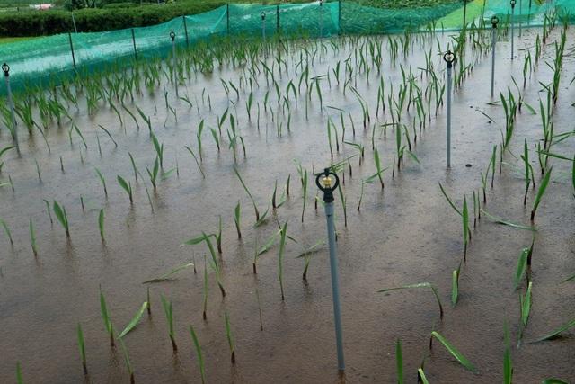 Ruộng lay ơn chuẩn bị cho dịp tết cũng bị úng rể, hư hại