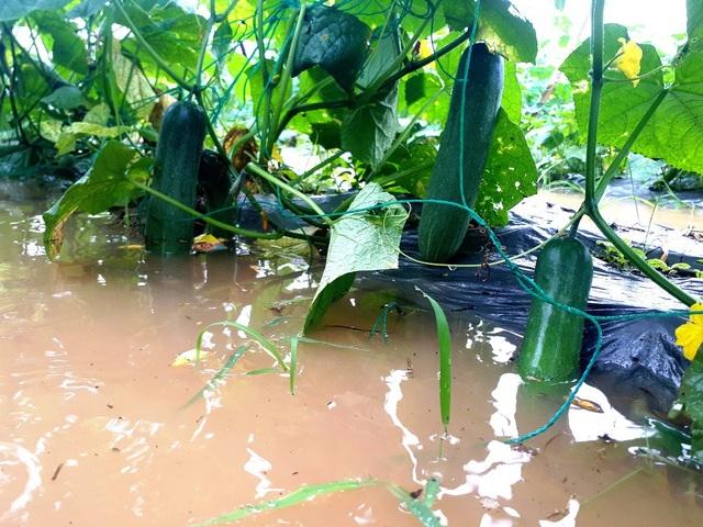 Diện tích rau quả của người dân Bàu Tròn bị ngập nước