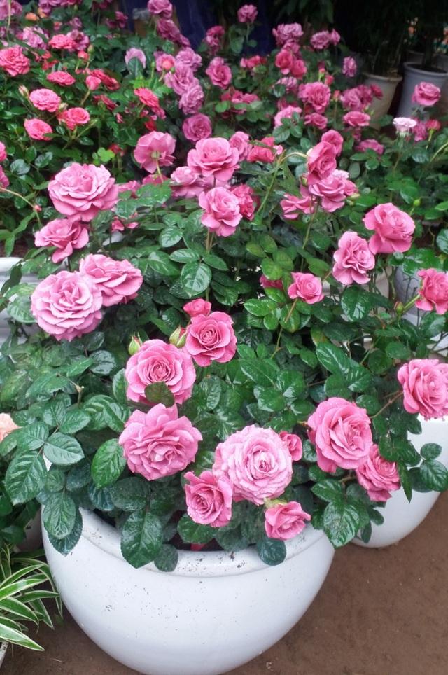 Hồng Terraza có thời gian lặp hoa nhanh.