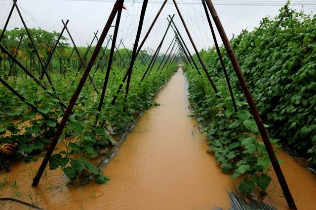 Những lứa rau quả mới xuống giống từ 1 tuần-1 tháng có khả năng mất trắng do ngâm nước lâu