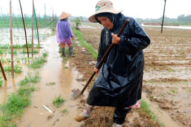 Nông dân trắng tay vì mưa lớn gây ngập úng rau quả vụ Tết - 4