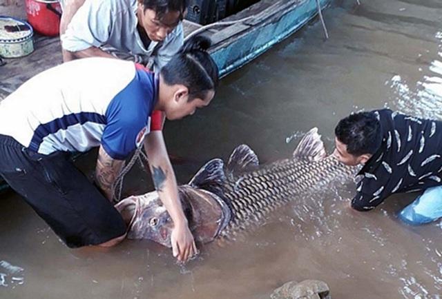 Con cá hô vàng khủng do một người dân Vĩnh Long vừa bắt được.