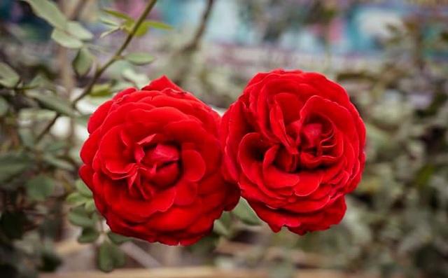"""Chuyên gia """"mách"""" cách để hoa hồng nở rộ đúng ngày Tết - 5"""