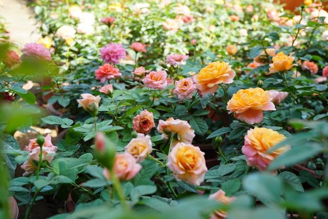 """Chuyên gia """"mách"""" cách để hoa hồng nở rộ đúng ngày Tết - 1"""
