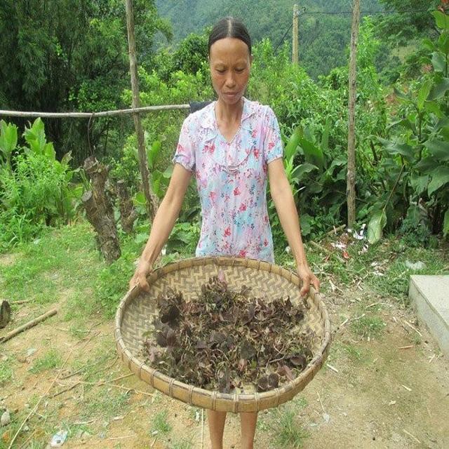 Sau nhiều ngày, hai vợ chồng chị Chắc mới tìm hái từ những cánh rừng già về được một nhúm lan kim tuyến.