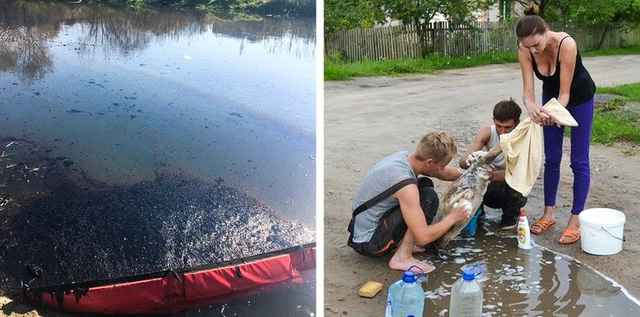 Một nhóm tình nguyện viên ở thành phố Brest, Pháp đang làm sạch dầu bám vào những chú Thiên Nga sau sự cố ô nhiễm môi trường.