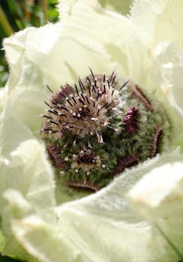 Trong những bộ tiểu thuyết của Kim Dung, Tuyết liên sơn được biết đến là loài thảo dược cực kỳ quý hiếm và chúng chỉ cho hoa 7 năm một lần.