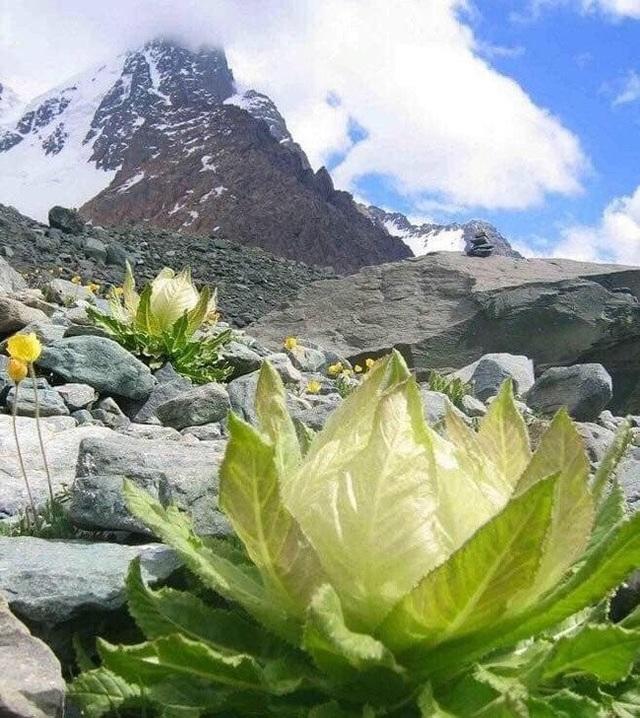 Ngoài Thiên sơn tuyết liên, loại cây này còn có tên gọi khác là Sen tuyết bởi chúng sinh sống trên những đỉnh núi cao, tuyết trắng bao phủ quanh năm ở Tây Tạng (Trung Quốc).