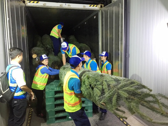 Những cây thông tươi nhập khẩu từ Đức về Việt Nam vào chiều 13/12.