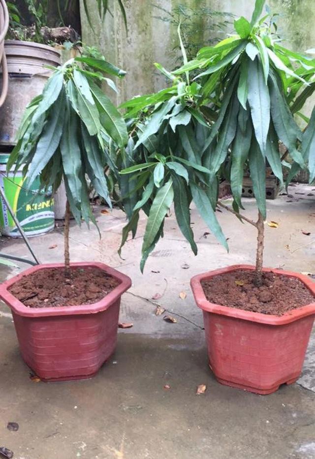 Loại cây 2 năm tuổi giá tới 5 triệu đồng vẫn không có hàng để bán