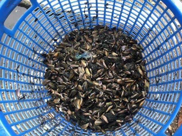 Sau đợt mưa bão, người dân đổ xô xuống đầm Thủy Triều (Cam Lâm, Khánh Hòa) để săn vẹm biển.