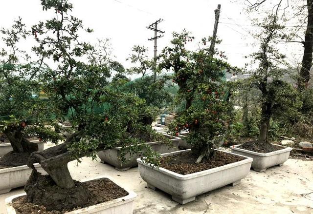 Cây hồng đá bonsai: Hàng lạ Tết này, giá tiền tỷ đại gia ôm liền - 1