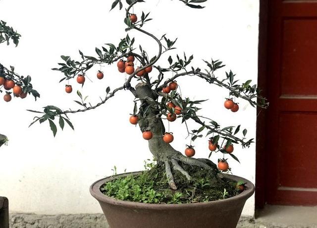 Hồng đá bonsai được rất nhiều khách đặt mua