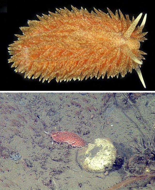5 loài hải sâm tuyệt đẹp mới phát hiện ở Thái Bình Dương - Ảnh 2.