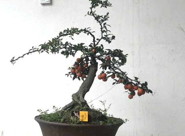 Cây bonsai rẻ nhất giá cũng tầm trên 10 triệu đồng