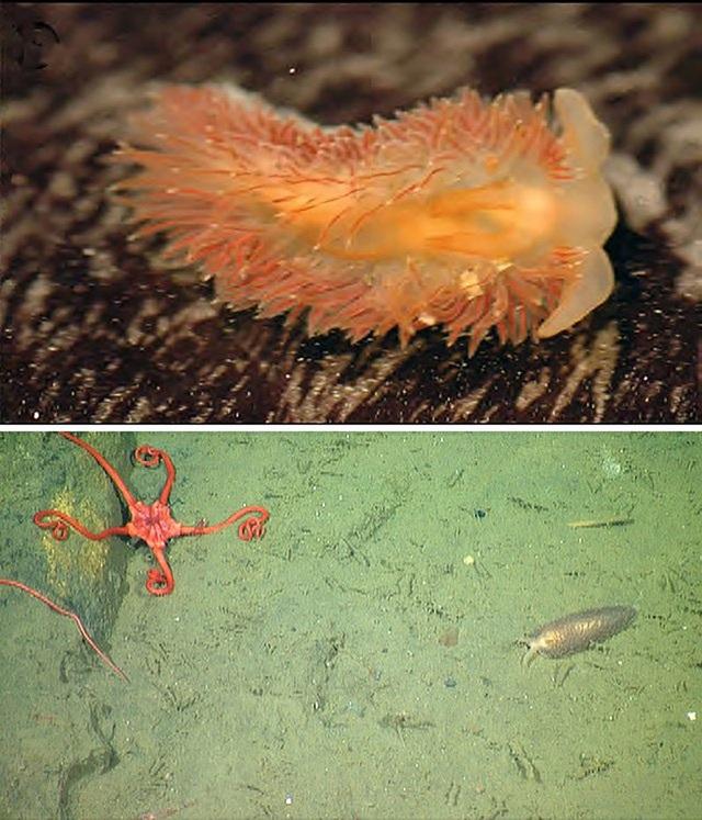 5 loài hải sâm tuyệt đẹp mới phát hiện ở Thái Bình Dương - Ảnh 4.