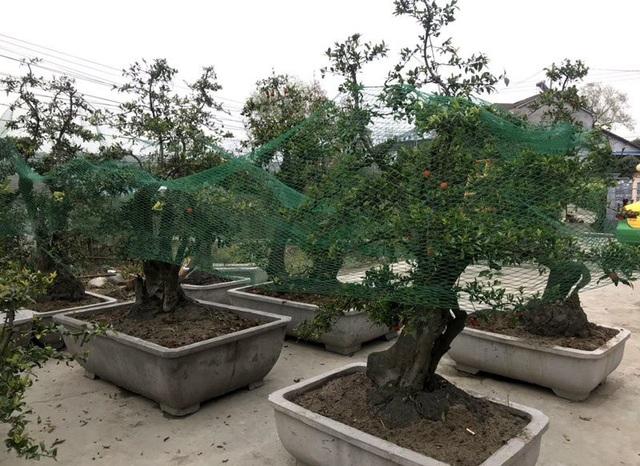 Thời điểm này những cây hồng đá trong vườn của ông Minh đã được khách đặt gần hết