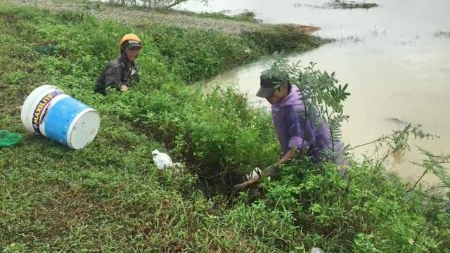 Anh Trần Thanh Tâm (huyện Mộ Đức), cho biết, mỗi nhóm săn chuột đồng có từ 2 - 3 người. Mỗi người sẽ phụ trách một phần việc như đào hang, đổ nước vào hang, xua đuổi chuột, đặt lưới...