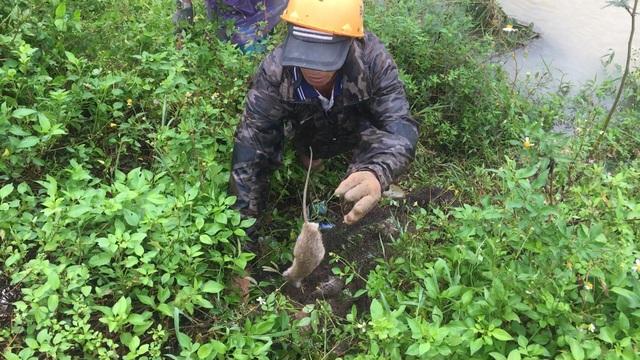 Quảng Ngãi: Săn chuột đồng mùa lũ, kiếm 400.000-500.000 đồng/ngày - 4
