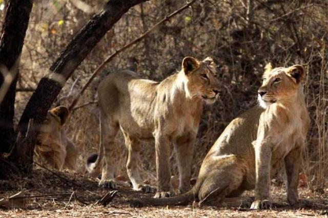 3 con sư tử châu Á trong đàn bất ngờ bị tàu hỏa cán chết bên trong khuôn viên của khu bảo tồn động vật hoang dã Gir, Ấn Độ