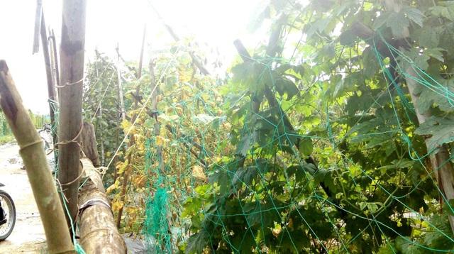 Canh giữ không xuể, người dân phải nghĩ nhiều biện pháp để bảo vệ nông sản như làm hai lớp hàng rào hoặc bao kín xung quanh ruộng rau