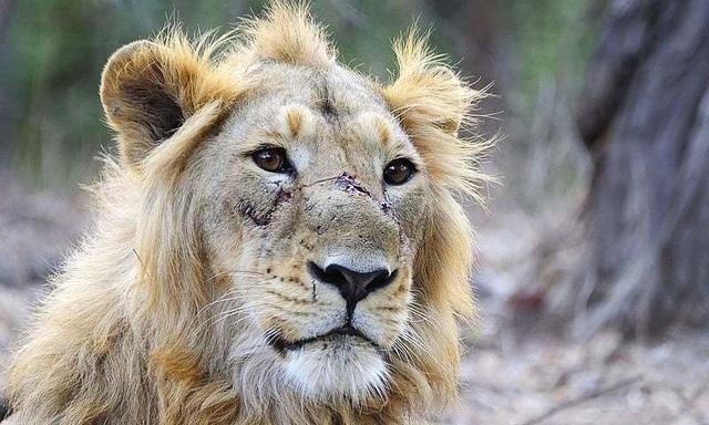 Sư tử châu Á đứng trước nguy cơ tuyệt chủng khi môi trường sống đang bị thu hẹp dần