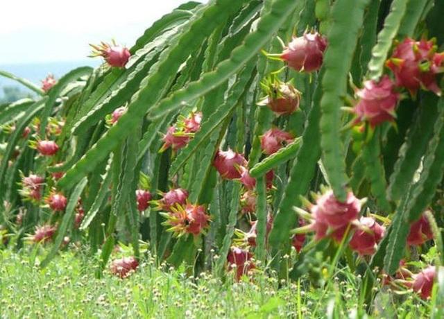 Thanh long ruột đỏ Việt Nam có chất lượng không thua kém gì các giống thanh long khác.