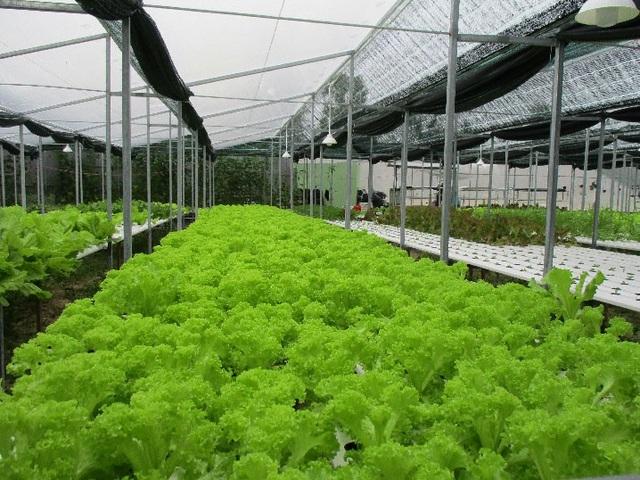 Mô hình trồng rau thủy canh của chị Nguyễn Thị Y là mô hình khép kín được phủ bởi màng lưới chống côn trùng, hạn chế ánh nắng trực tiếp nên rau phát triển tốt. Ảnh: Trần Hậu