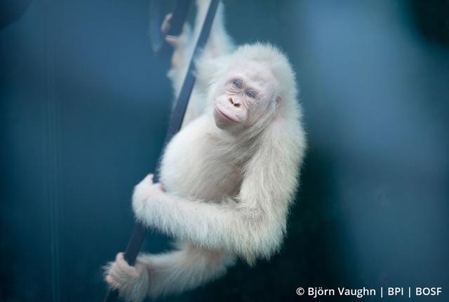 Đười ươi bạch tạng đầu tiên trên thế giới được thả về tự nhiên - Ảnh 1.