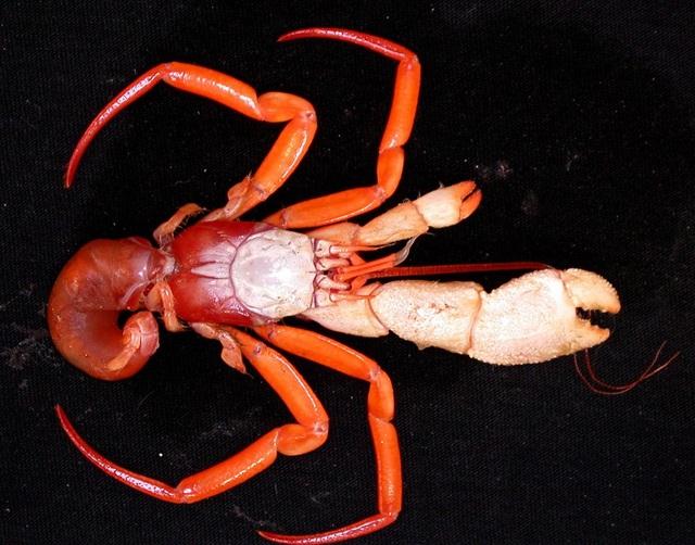 Ngắm những sinh vật biển kì lạ các nhà khoa học vừa tìm thấy ở Australia - Ảnh 8.