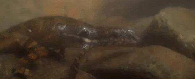 Phát hiện loài thằn lằn có thể thở… được dưới nước - Ảnh 1.