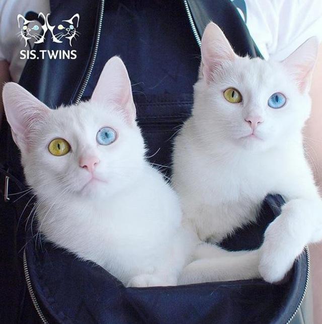 Mèo song sinh 2 màu mắt làm cư dân mạng bấn loạn - Ảnh 2.