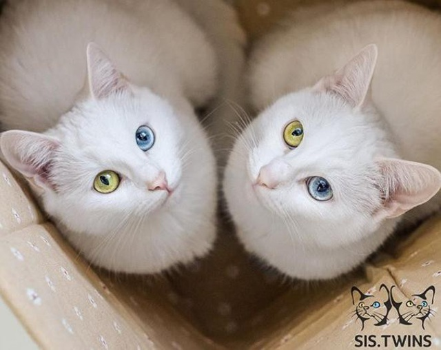 Mèo song sinh 2 màu mắt làm cư dân mạng bấn loạn - Ảnh 4.