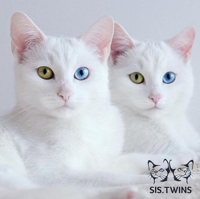 Mèo song sinh 2 màu mắt làm cư dân mạng bấn loạn - Ảnh 5.