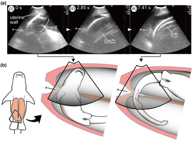 Cá mập con bơi sang tử cung khác để ăn trứng chưa nở của mẹ - Ảnh 1.