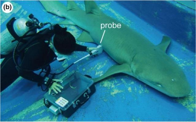 Cá mập con bơi sang tử cung khác để ăn trứng chưa nở của mẹ - Ảnh 2.