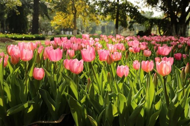 Chiêm ngưỡng vườn hoa xuân Keukenhof – Hà Lan tại Ecopark - Ảnh 1.