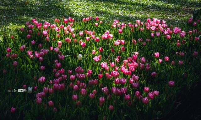 Chiêm ngưỡng vườn hoa xuân Keukenhof – Hà Lan tại Ecopark - Ảnh 3.