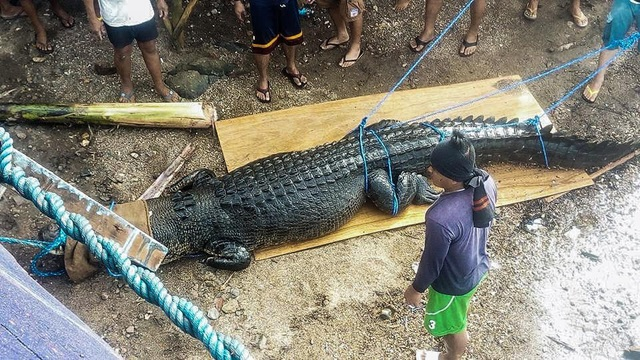 Cá sấu nặng nửa tấn bị tóm gọn