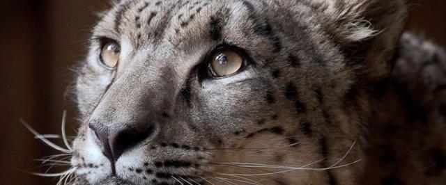 Sở thú ở Anh giải thích quyết định giết chết báo tuyết sổng chuồng - 1