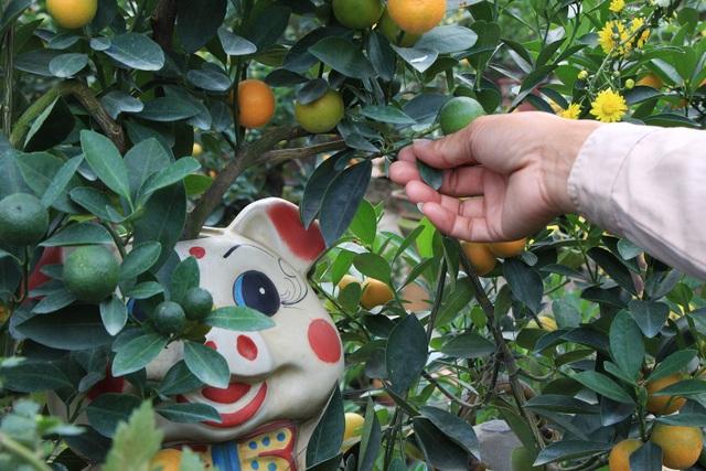 Để cây quất có thể ra nhiều quả và có thế đứng độc đáo phù hợp với thế của mỗi chú heo, mỗi ngày anh Mạnh đều phải bỏ ra vài tiếng đồng hồ cắt tỉa lá, tạo hình cây.