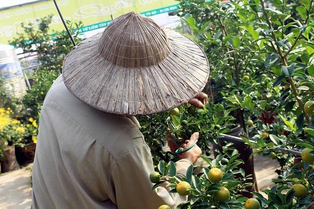 Heo vàng 5 triệu đồng cõng quất bonsai chào tết Kỷ Hợi 2019 - 8