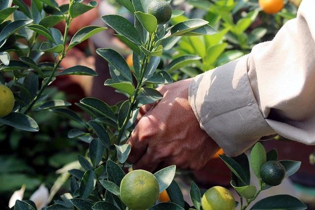 Để cây quất có thể ra nhiều quả và có thế đứng độc đáo, mỗi ngày anh Mạnh đều phải bỏ ra 4-5 tiếng đồng hồ để làm công việc cắt tỉa lá, tạo hình cây.