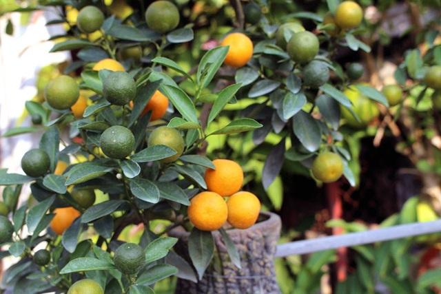 Nhiều quả quất đã căng mọng, chín đỏ tại vườn trước thềm Tết Nguyên Đán.