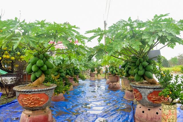 Tại nhà vườn của anh Hoàng Đình Chính ở huyện Văn Giang (Hưng Yên), năm nay có thêm một loại bonsai khá độc đáo từ cây đu đủ. Chủ nhân cho biết, anh làm những chậu bonsai này vì nắm bắt được thị hiếu chơi cây cảnh độc lạ trong những năm gần đây.